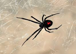 Black Widow Spiders Had A - vegan ethics and the case for black widow spiders corey lee wrenn