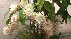 queen of the night epiphyllum oxypetalum 2010 youtube