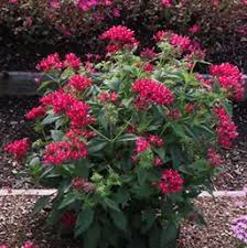 pentas flower pentas costa farms