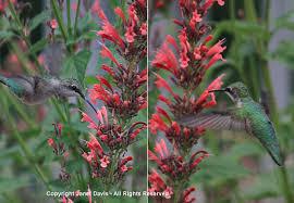 Hummingbird Plant Hummingbird Nectar Plants Janet Davis Explores Colour