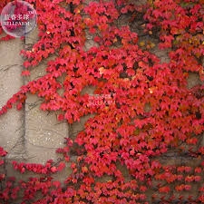 aliexpress com buy bellfarm heirloom imported red ivy climbing