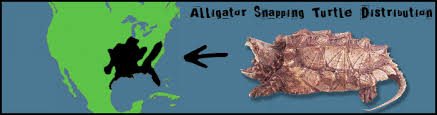 alligators in map alligator snapping turtle untamed science