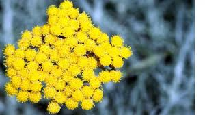 immortelle d italie cuisine l immortelle d italie un feu d artifice jaune d or