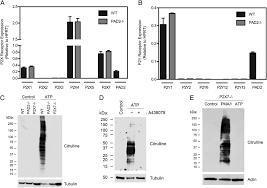 atp induces protein arginine deiminase 2 dependent citrullination