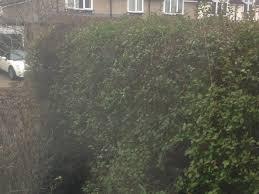 privet hedge dying gardening forum gardenersworld com