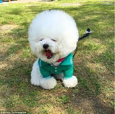 bichon frise good and bad tori the bichon frise u0027s spherical hair style is making her an
