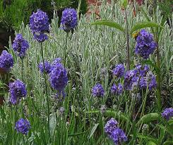 Types Of Planting Flowers - the lavender garden catalogue