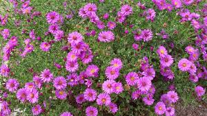 plants native to new york fall flowering asters perennials american meadows