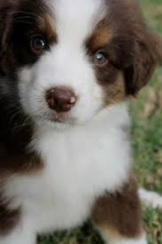 australian shepherd fur 19 reasons australian shepherds are the best looking dogs in the