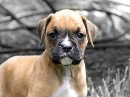 boxer dog breeders near me miniature boxer puppies