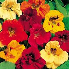 nasturtium flowers nasturtium seed nasturtium mix flower seeds