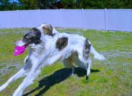 afghan hound giving birth sighthound rescue afghan hound rescue borzoi rescue deerhound