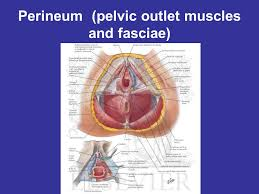 Perineum Anatomy Female General Anatomy Of The Female Reproductive System Ppt Download