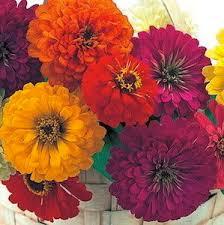8 best zinnias images on pinterest cut flowers zinnias and