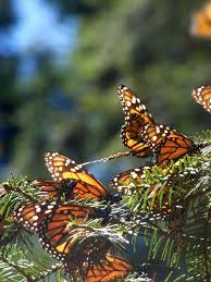 endangered monarch butterflies find winter sanctuary in mexican