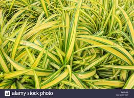 Spider Plant Beautiful Green Yellow Spider Plant In The Garden Stock Photo