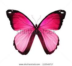 morpho pink butterfly isolated on white stock illustration
