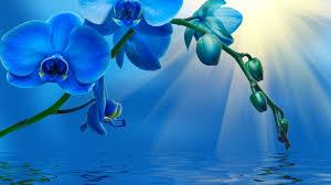 Blue Orchid Flower - blue orchid flower wallpaper