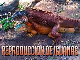 imágenes de iguanas verdes reproduccion de iguanas verdes youtube
