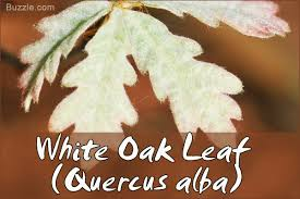 White Oak Leaf Oak Tree Leaf Identification Has Never Been Easier Than This