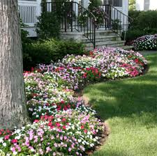 impatiens flowers impatiens grow impatiens flowers in well drained soil enriched by