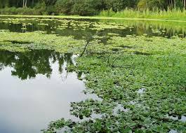 florida native aquatic plants bivens arm