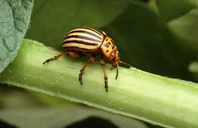 colorado potato beetle wikipedia