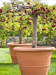 how to grow fruit trees on a patio fruit trees