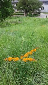 kansas native plants meadow the meadow