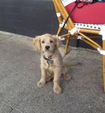 Comfort Retrievers For Adoption Best 25 Golden Cocker Retriever Ideas On Pinterest Cocker Dog