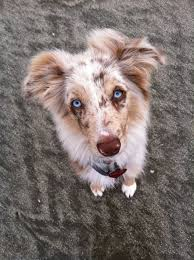 australian shepherd 5 months 17 best images about cute things on pinterest working dogs
