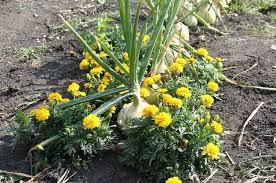 wonderful companion flowers for vegetable gardens companion