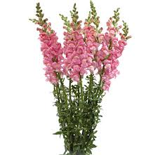 snapdragon flowers snapdragons and wholesale florist
