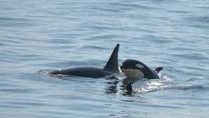 new baby orca congratulations j14 matriline san juan safaris