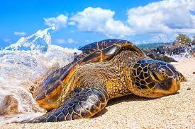 Hawaii Wildlife Tours images Spend the day with hawaii turtle tours jpg