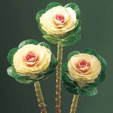 ornamental kale as a cut flower stems can be up to 30 inches if