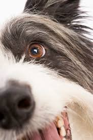 What Causes Dogs To Go Blind Can A Scratched Cornea In Dogs Lead To Blindness Dog Care The