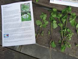 plants native to canada help remove invasive species garlic mustard friends of the