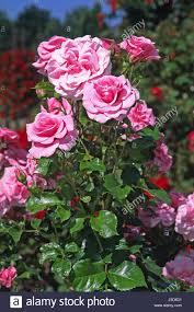 flower plant flowers roses ornamental plants pink sorte stock