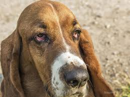 Causes Of Sudden Blindness In Dogs Ectropion In Dogs What U0027s Wrong With My Dog U0027s Eyes