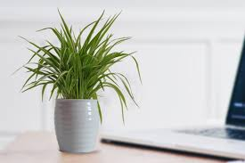 rolling nature air purifying spider plant in white ceramic pot