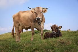oregon seeks to regulate u0027dangerous preventable u0027 cow farts