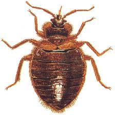Washington how do bed bugs travel images Willard 39 s pest control seattle bedbug extermination in kirkland jpg