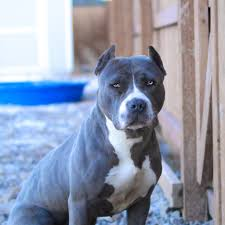 american pit bull terrier lab mix 9 things you should u201cnose u201d about the blue nose pitbull animalso