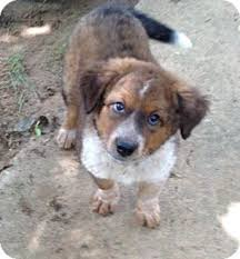 australian shepherd puppies rescue jill adopted puppy pilot point tx australian shepherd