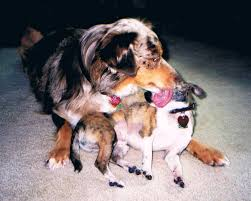 australian shepherd grooming needs ottawa valley dog whisperer does your dog lick you too much