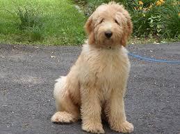 goldendoodle puppy virginia next goldendoodles litter tlc by the lake standard poodles doodles