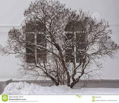 lilac bush in winter stock photo image 85284360