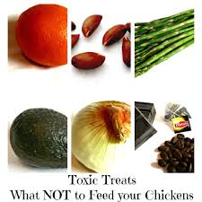 toxic treats what not to feed your chickens fresh eggs daily