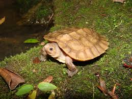 projects turtle survival alliance tsa